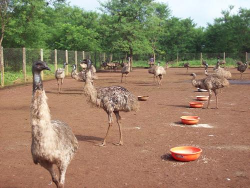 emu_feeding