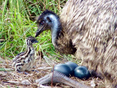 Emu_natural incubation